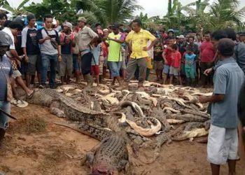 Mangsa Warga Sorong, Ratusan Buaya Dibantai Warga di Penangkaran Buaya