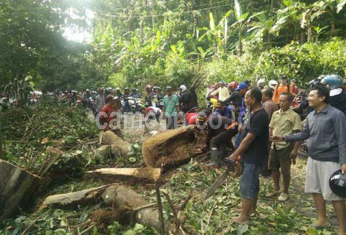 Pohon Besar di Pangandaran Tumbang dan Menimpa Mobil