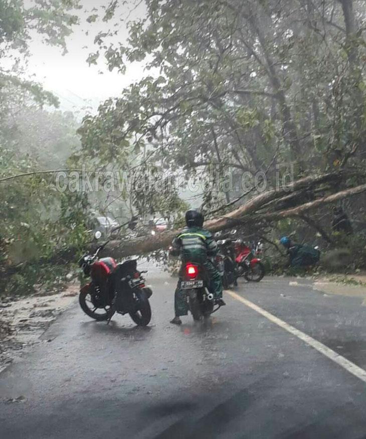 Lagi, Pohon Besar Tumbang di Emplak Pangandaran, Arus Lalin Tertutup
