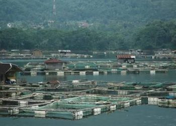 Akibat Cuaca Buruk, Puluhan Ton Ikan di KJA Saguling Mati