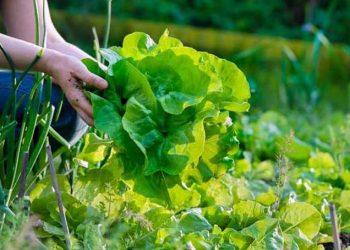 Fakta Sayuran Organik yang Perlu Diketahui