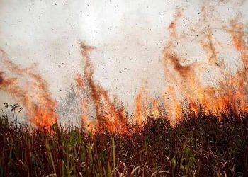 Si Jago Merah Ngamuk di Lahan Milik Warga Pangandaran