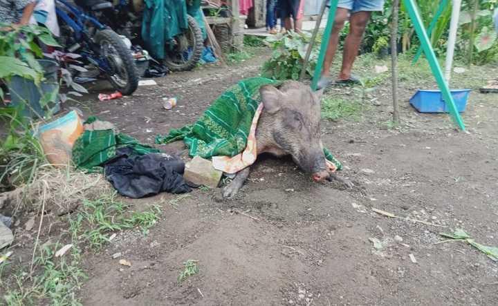 Warga Pangandaran digegerkan dengan Babi Hutan yang masuk ke Perkampungan